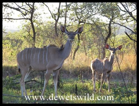 Kudu cow and calf