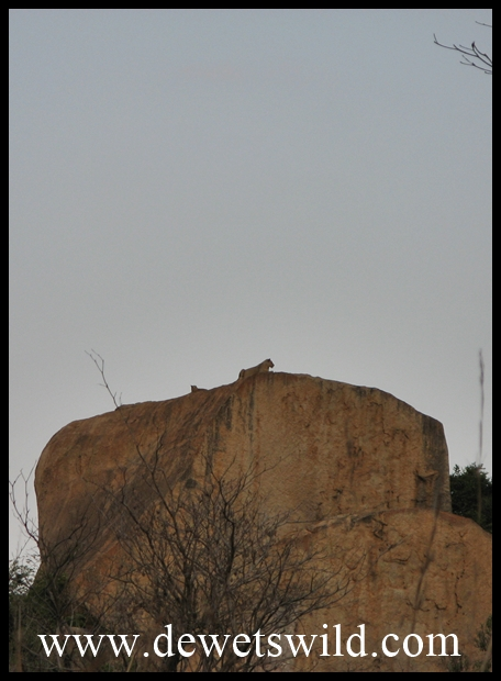 Lioness and cub atop Shabeni