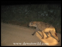 Hyena on night drive