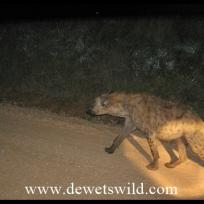 Hyena on night drive