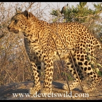 Biyamiti is a reliable place for leopard sightings