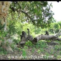 Baboons enjoying the fruits of the sausage tree