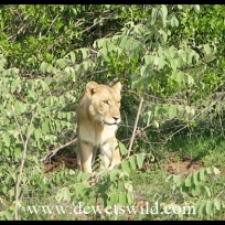 Lion too abound around Biyamiti