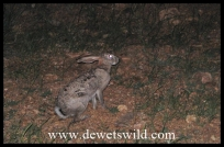 a Scrub Hare in camp