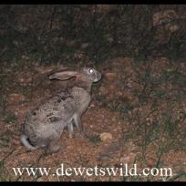 a Scrub Hare in camp
