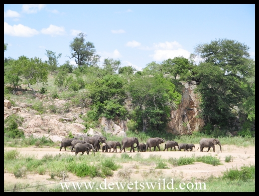 Herd of elephant in the Biyamiti River in front of the camp