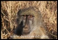 Baboon close-up