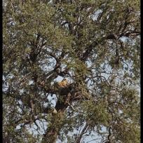 Lofty leopard