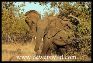 Little elephant intimidation
