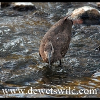Hamerkop catching supper