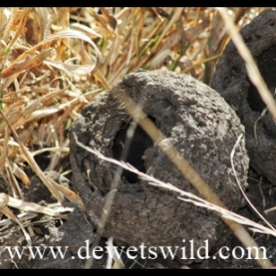 Dung beetle balls dug up by a ratel (honey badger)