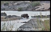 Hippo rushing to deep water