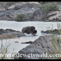 Hippo rushing to deep water
