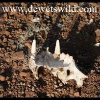 Lion jaw bone