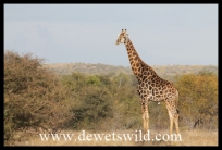 Giraffe approached on foot