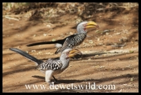 Yellow-billed hornbills