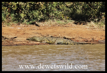 Crocodile at Sable Dam