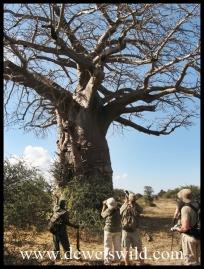 Dwarfed by an ancient baobab
