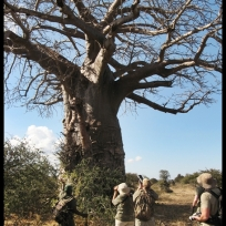 Dwarfed by an ancient baobab