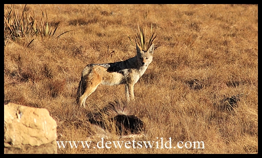 Black-backed jackal