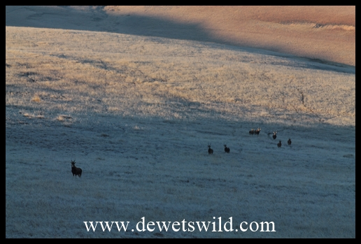 A herd of blesbok making their way through the frosty landscape