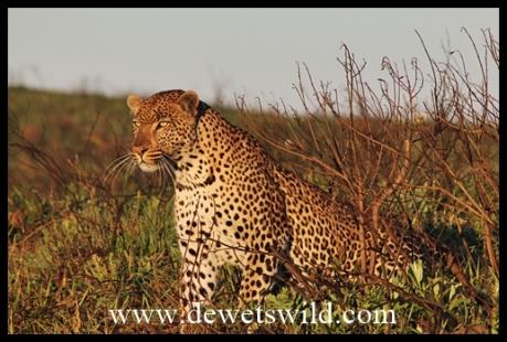 Isimangaliso_Leopard_7038
