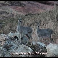 Grey rhebuck
