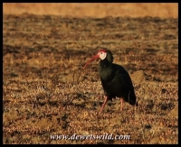 The threatened Southern Bald Ibis