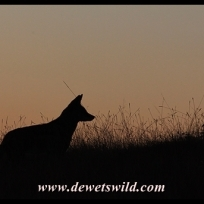 Black-backed jackal silhouette