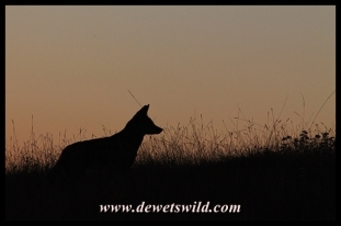 Black-backed jackal silhouette