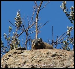 Rock hyrax, or Dassie