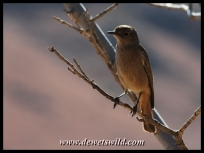 Female African Stonechat