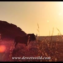 Black wildebeest at dawn