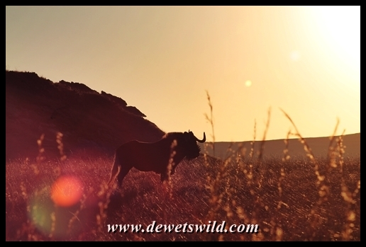 Black wildebeest at dawn