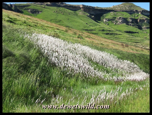 Blooming grasses