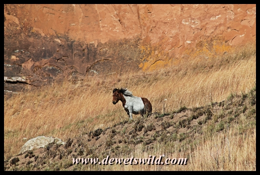 Pony surveying the Golden Gate landscape