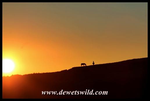Plains zebra silhouette