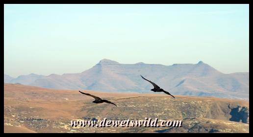 Cape griffons in flight