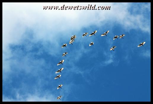 Egrets over Glen Reenen