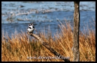 Loskop Hide: pied kingfisher