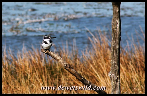 Loskop Hide: pied kingfisher