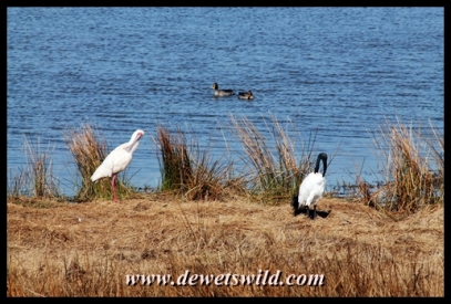 Loskop Hide: sacred ibis, spoonbill and yellow-billed ducks
