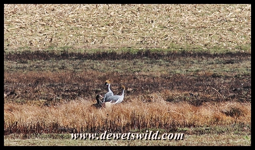 Crowned Cranes in a patch of long grass