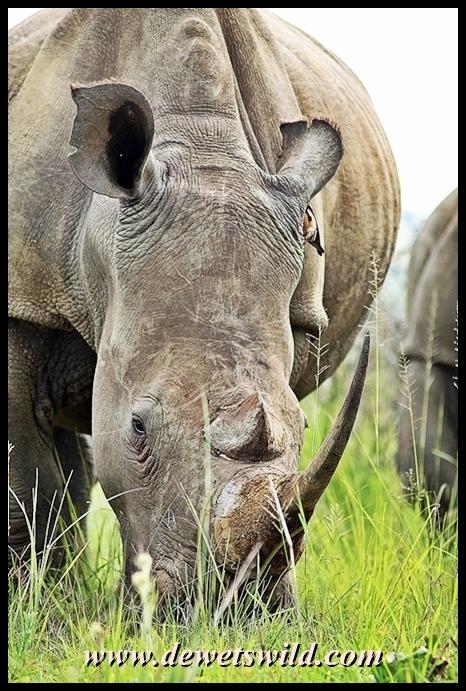 World Rhino Day 2013