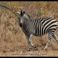 Plains zebra, Babalala