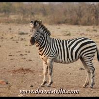 Plains zebra, Malopenyana