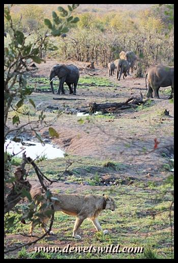 Lion and elephants 20130923