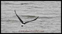 Fish eagle in low-level flight over Midmar