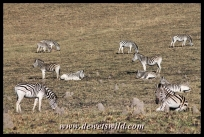 Plains zebra in the game park at Midmar