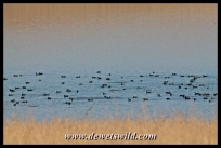 Huge flock of red-knobbed coot at Midmar